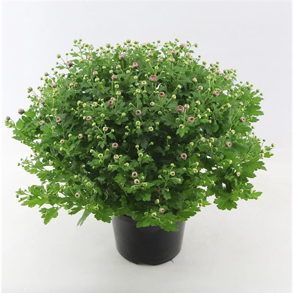 <h4>Chrysanthemum Jasoda Dark Pink</h4>