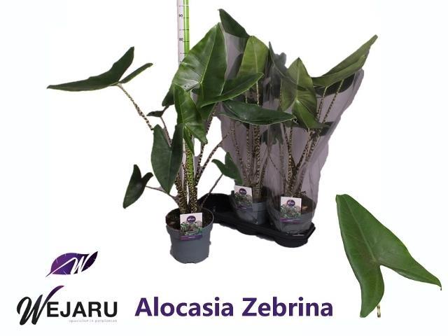 <h4>ALOC ZEBRINA</h4>