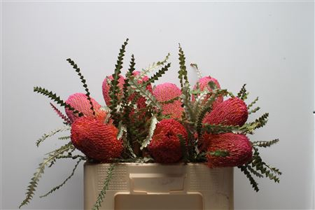 <h4>Banksia Speciosa Dusty Pink</h4>