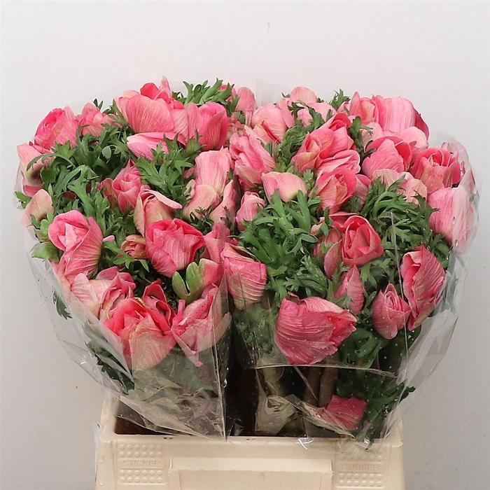 <h4>Anemone cor. 'Mistral Plus Pinkie'</h4>