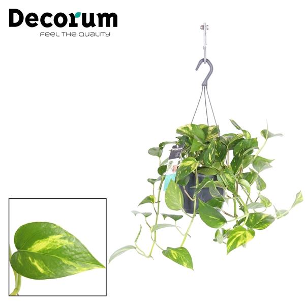 <h4>Epipremnum Pinnatum Aureum (Hang)</h4>