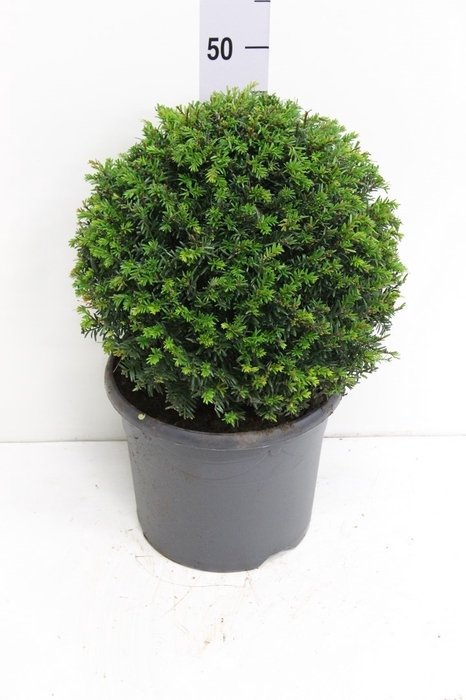 <h4>Taxus baccata   ...</h4>