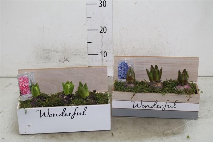 <h4>Hyacinth Mix 3916 Ass. Wonderfull 3pp Mos</h4>