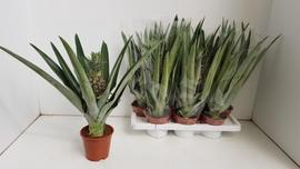 <h4>Pineapple ANANAS OV</h4>