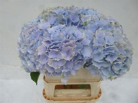 <h4>Hydr M Verena Bleu</h4>