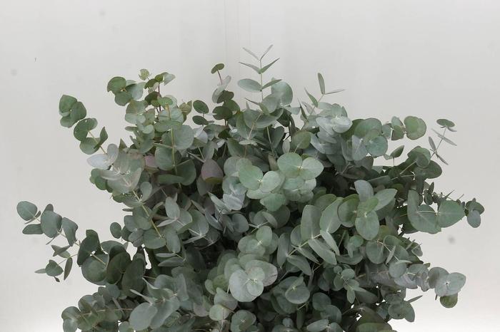 <h4>Eucalyptus Cinerea 55cm (P. Bos)</h4>