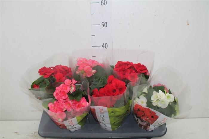 <h4>Begonia Du Gemengd</h4>