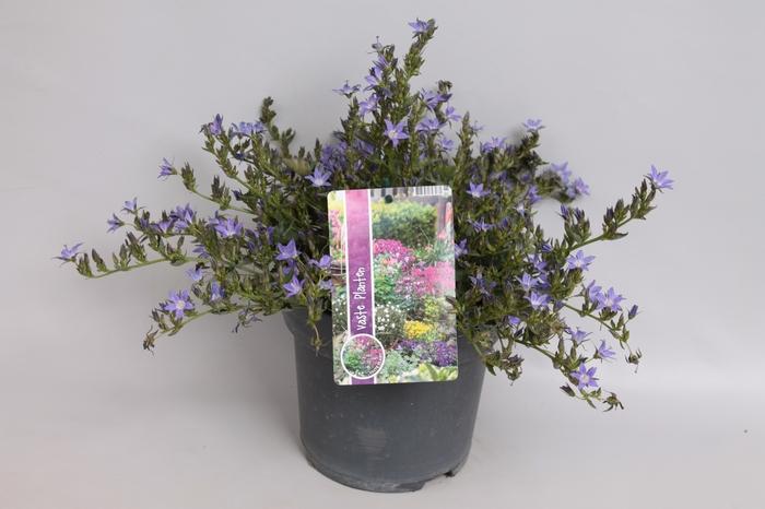 <h4>vaste planten 19 cm  Campanula  Hirsch Blue</h4>