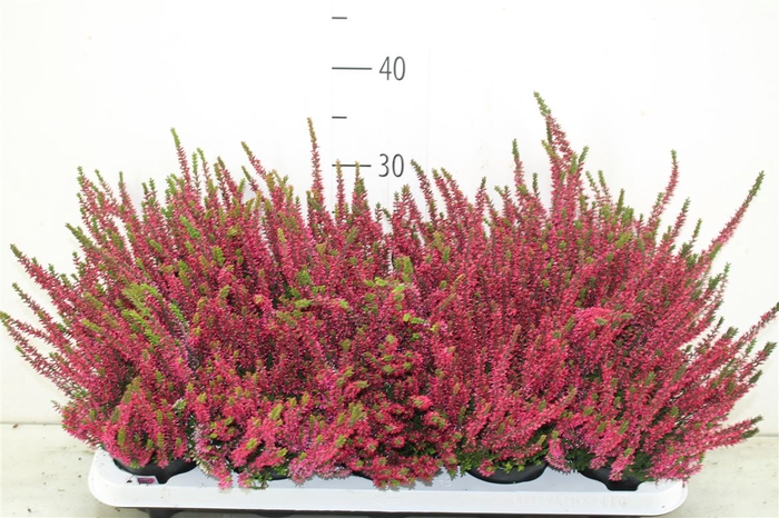 <h4>Calluna G Girls Rood</h4>