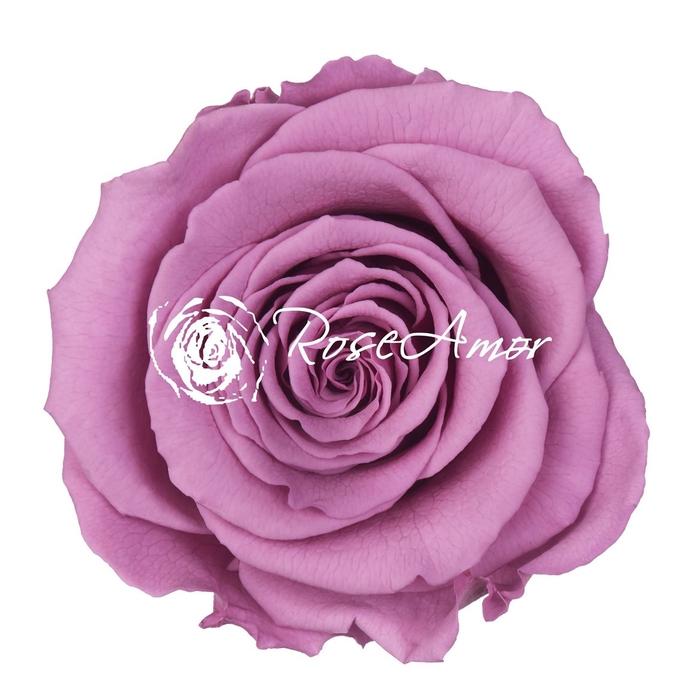 <h4>PRESERVED ROSA XL VIO 03</h4>