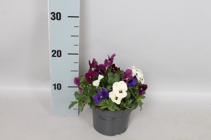Viola cornuta 13 cm Trio Diverse soorten