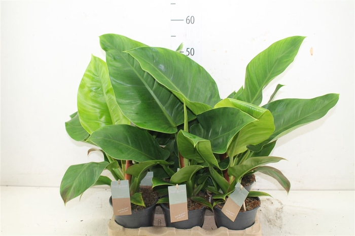 <h4>Philodendron Imperial</h4>