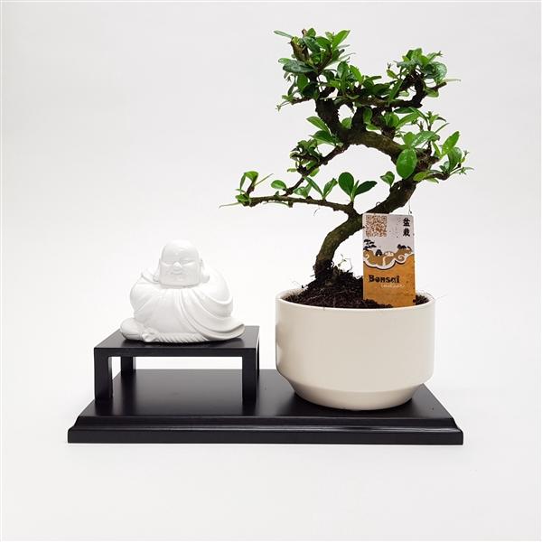 <h4>Buddha Bonsai</h4>