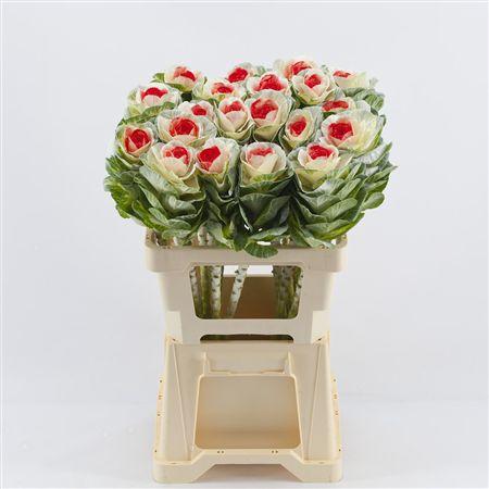 <h4>Brassica White-red</h4>