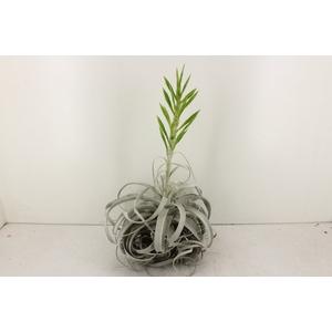 arr. CP - Till. Xerographica XL Flower