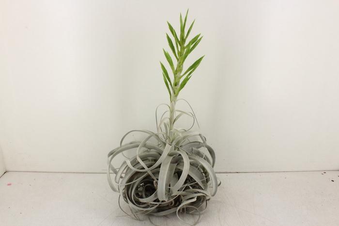 <h4>arr. CP - Till. Xerographica XL Flower</h4>