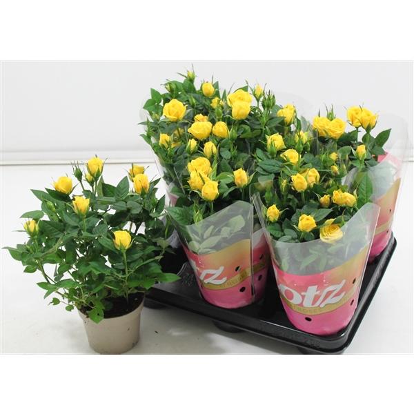<h4>Rosa Lotz Yellow</h4>