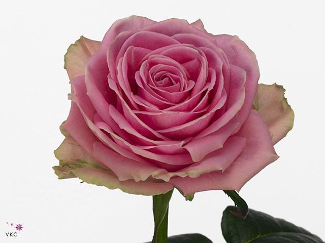 Rosa Gr. Wham