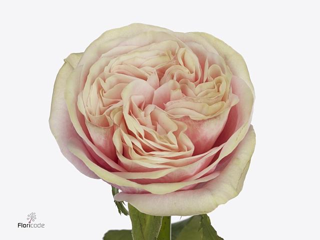 Rosa large flowered Swan Grace