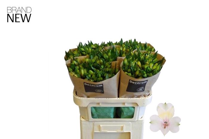 <h4>Alstroemeria Pearl Bell</h4>