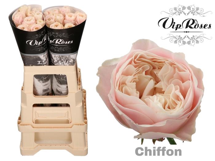 R GR CHIFFON x 20