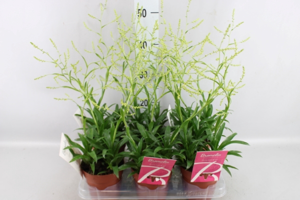 <h4>Catopsis morreniana</h4>