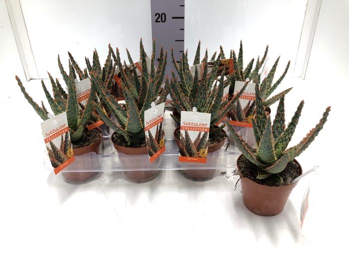 <h4>Aloe Dannyz 8,5Ø 10cm</h4>