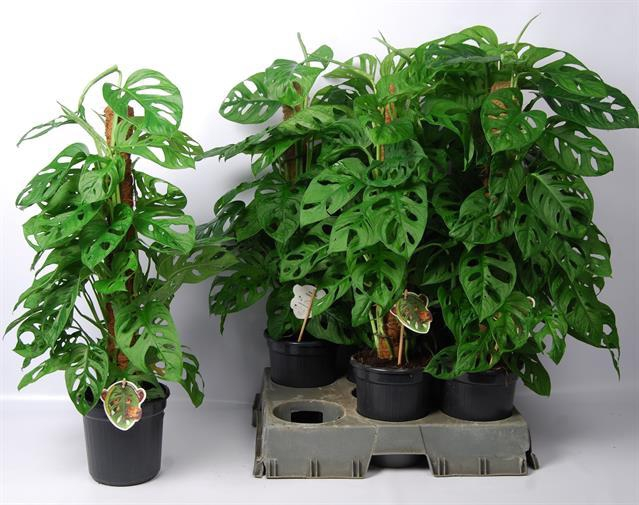 <h4>Monstera adansonii Monkey Leaf</h4>