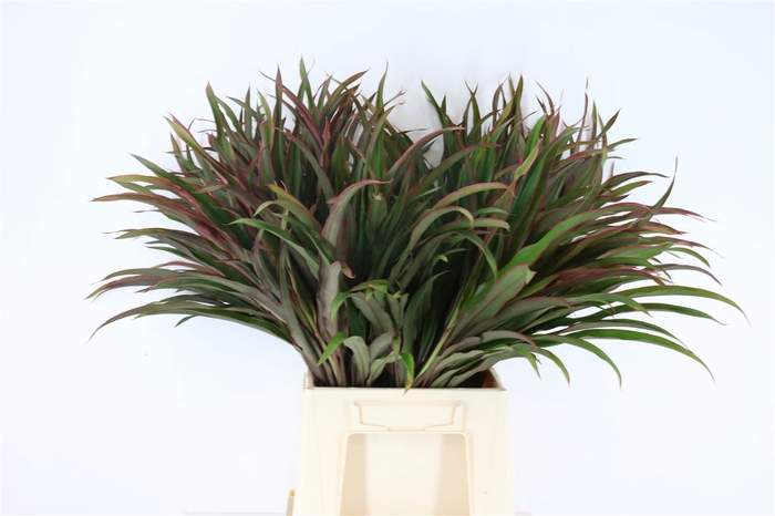 <h4>Cordyline Chicken Tail Top</h4>