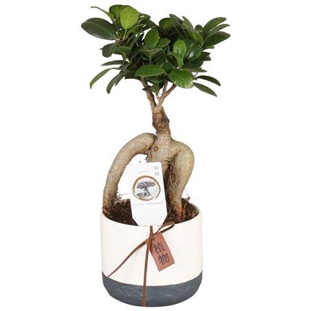 <h4>Ficus M. Ginseng Pot Ø09cm In Ø11cm Ceramic Twoton</h4>