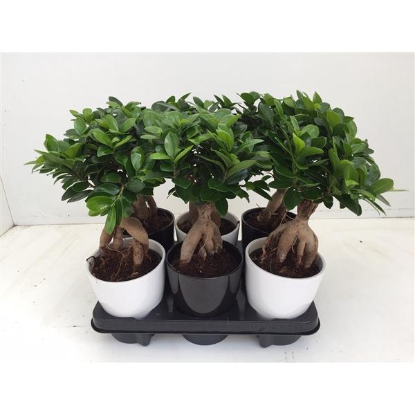 <h4>Ficus Microcarpa Ginseng</h4>