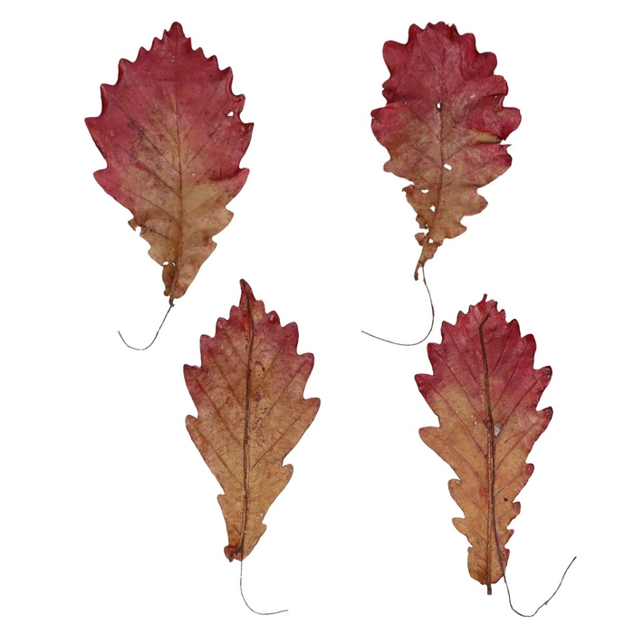 <h4>Autumn Oak leaf wax/wire x150</h4>