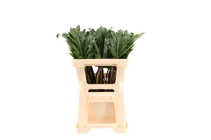 <h4>Philodendron Xanadu Extra</h4>