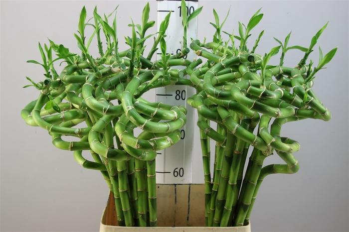 <h4>Lucky Bamboo Spiraal 90</h4>