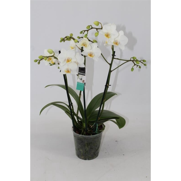 <h4>Phalaenopsis mf. Snowflake</h4>