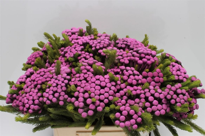 <h4>Kaaps Albiflora M Purple</h4>