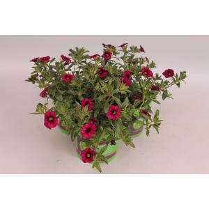 Calibrachoa Callie Deep red