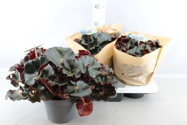 <h4>Begonia BD erythr. 'Black Jungle'</h4>