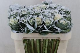 Brassica White nevada