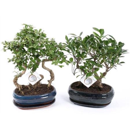 <h4>Bonsai A1263001 Gemengd Forest Keramiek</h4>