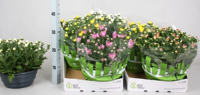 <h4>Chrysanthemum mixed 23Ø 27cm</h4>
