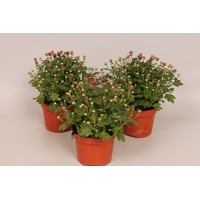 <h4>Potchrysant Purple</h4>