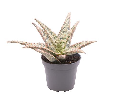 <h4>Aloe Red Shade 6Ø 10cm</h4>