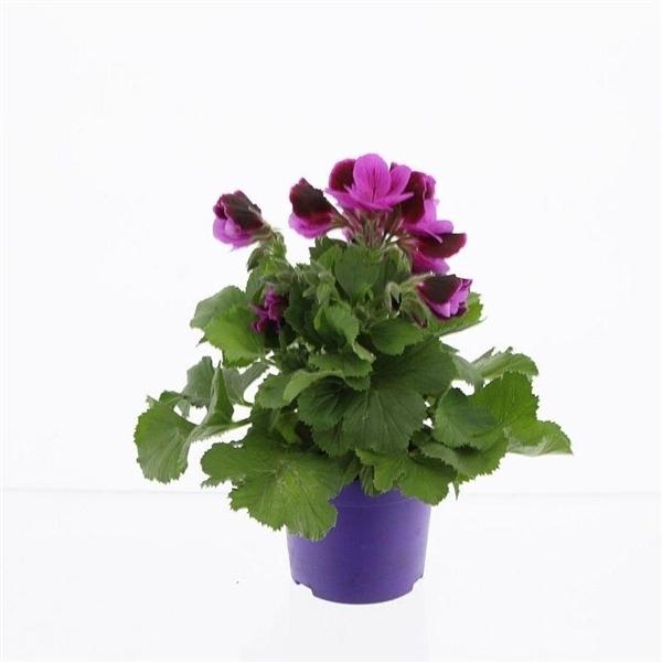 <h4>Pelargonium gr. Judith</h4>