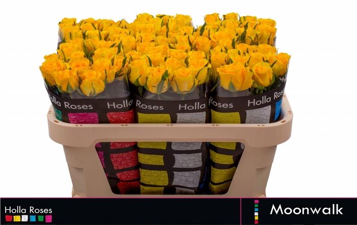 <h4>Rosa grootbloemig Moonwalk</h4>