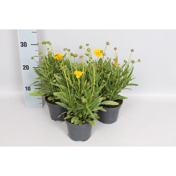 <h4>Overig 12 cm Coreopsis grandiflora Early Sunrise</h4>
