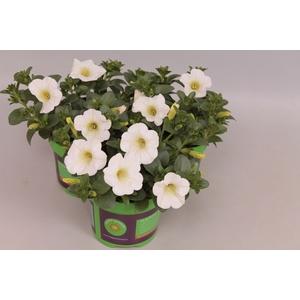 Petunia Dubble white