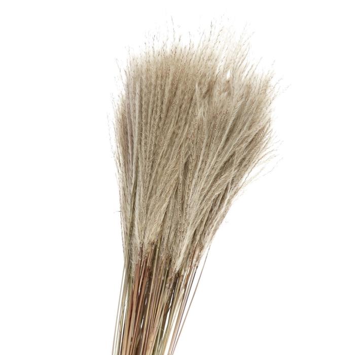 <h4>Droogbloem Silver grass 90cm x100</h4>
