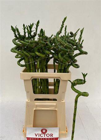 <h4>Drac Lucky Bamboo</h4>
