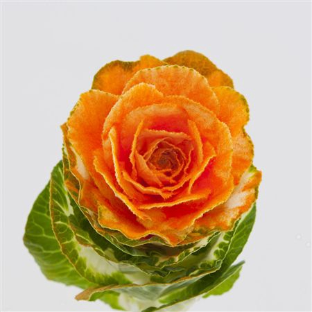 <h4>Brassica Powder Orange</h4>